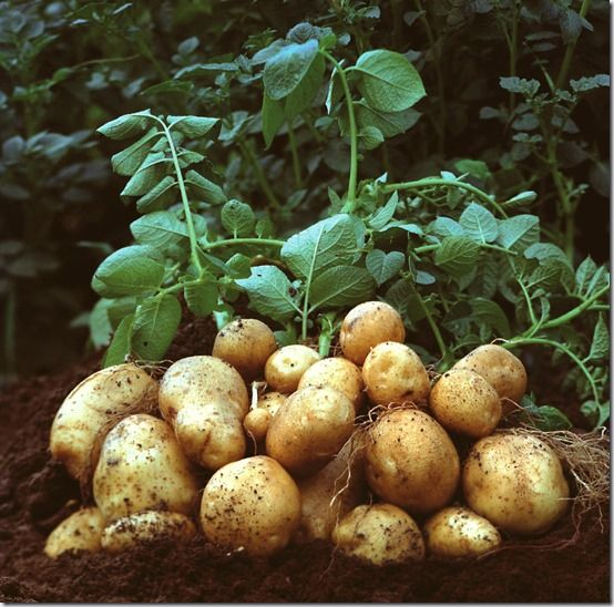 Potatoes:  How to Grow Them.