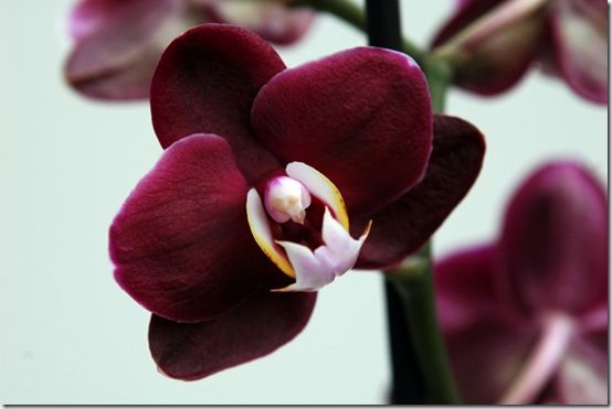 purple-red-phalaenopsis-orchid