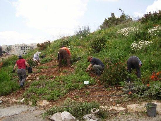 Weeding Jerusalem botanic Garden's South African Section