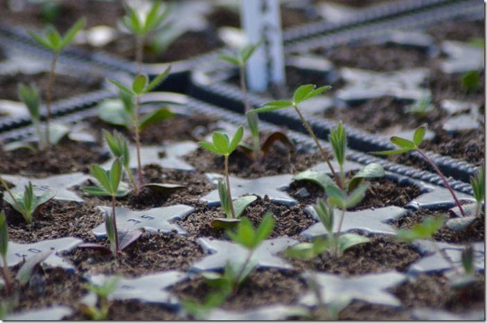 4 Young lupin seedlings