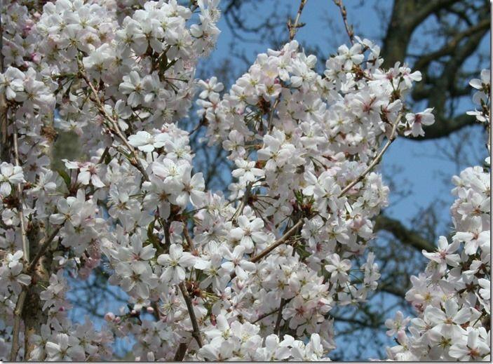 5. Prunus 'Pandora' (1024x754)