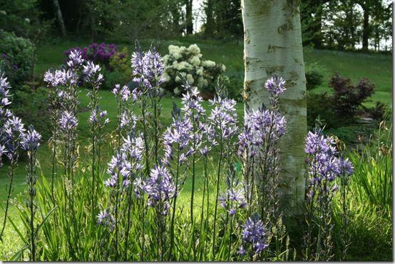 camassia leichtlinii in grass
