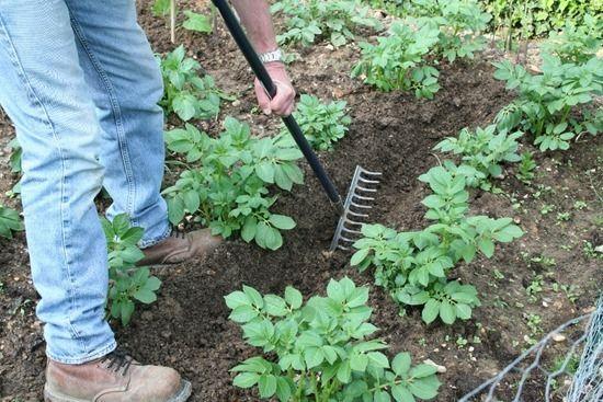 3 Growing potatoes (1024x683)
