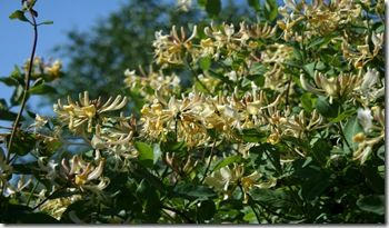 Lonicera 'Graham Thomas' 2