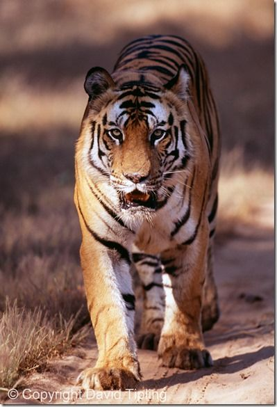Bengal Tiger, Panthera tigris, male, Bandavgarh National Park, India
