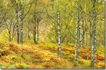 silver birches in autumn - straight