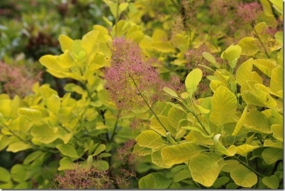 7 Cotinus 'Golden Spirit' flowers