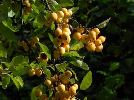Malus 'Golden Hornet' - fruit
