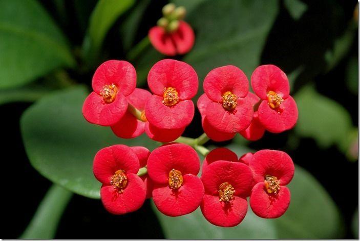 6 Euphorbia millii