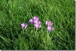 Crocus tommasinianus in grass