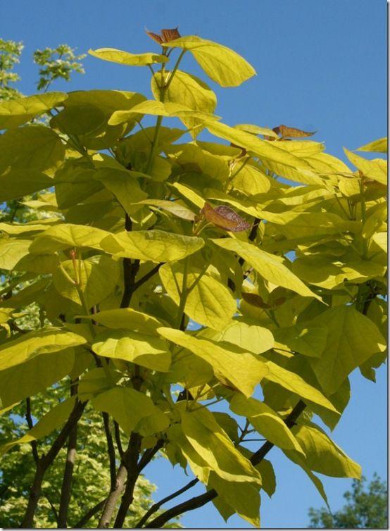 Catalpa bignoniodes 'Aurea' (1)