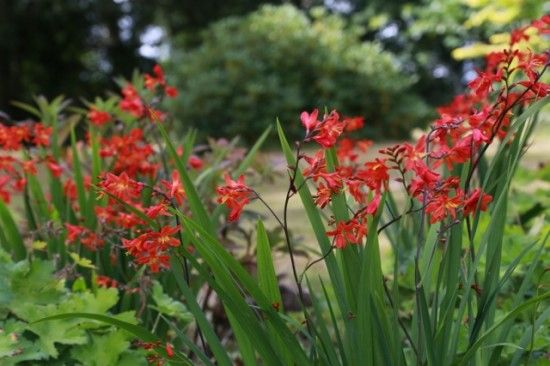 Crocosmia 'Carmin Brilliant