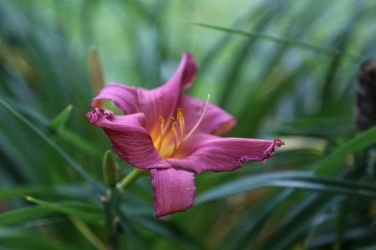 8 Hemerocallis 'Summer Wine'