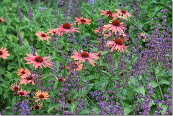 Echinacea and Nepeta