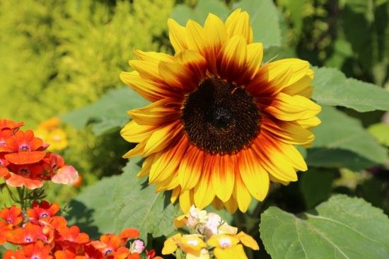 3 Exotic sunflower colour (1280x853)