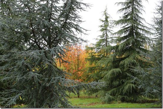 7. Cedars