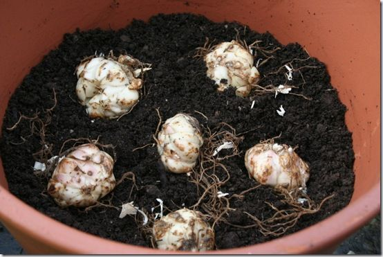 Lily bulbs in pot - close