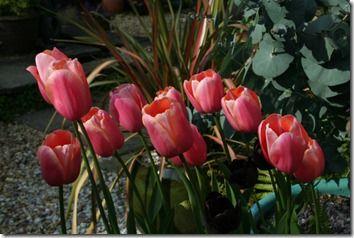 Tulipa 'Menton'