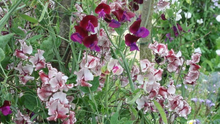 Scent In The Garden & How Best To Use It - Gardening