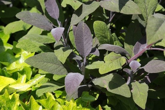 5  Salvia officinalis'Purpurascens'