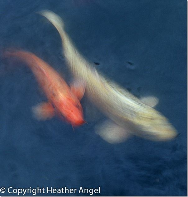 Koi carp swimming in pool