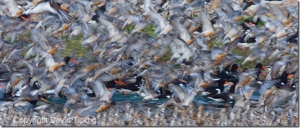 Knot and Oystercatchers at high tide roost Snettisham RSPB Reserve The Wash Norfolk summer, Focus, Focusing errors, Focusing, Bird, Movement, Panning, Lomg exposure, prefocus, Photography, Low Light, single point AF, continuous, AI servo, AF for tracking, pre-focus, David Tipling, Online course,