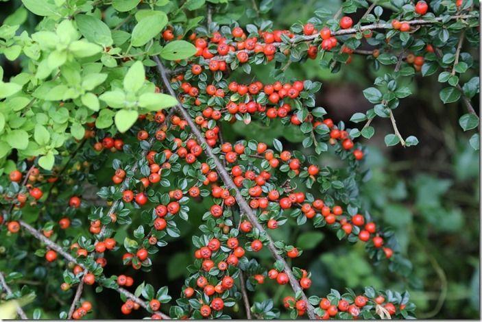 6 Cotoneaster horizontalis
