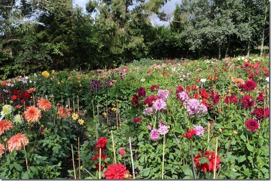 Gilbert's Dahlia Field