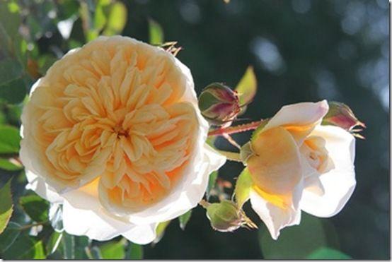Peach Rose on Pinterest