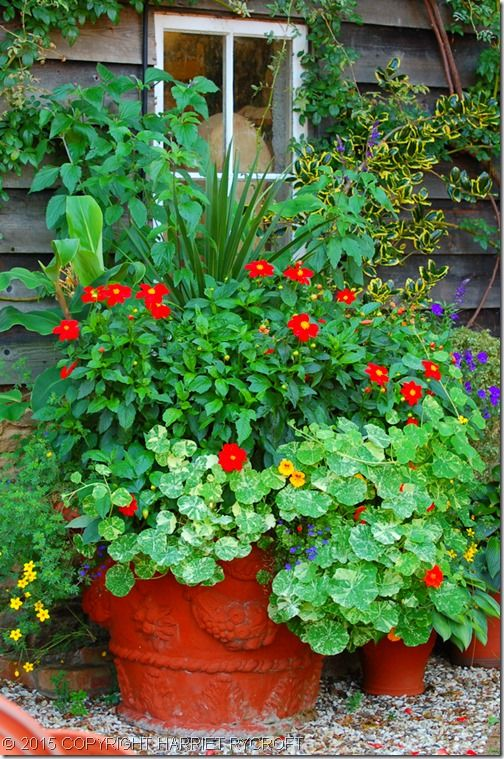 8 Tropaeolum majus 'Alaska Mix' beneath Dahlia 'Red Riding Hood', lighting a shady corner