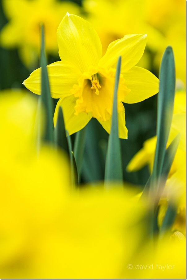 Springtime daffodil growing in an English country garden, Autofocus, Phase detection, AF point selection, Contrast detection, AF-S, One Shot mode, AI Servo, AF-C, predictive focus, Live View