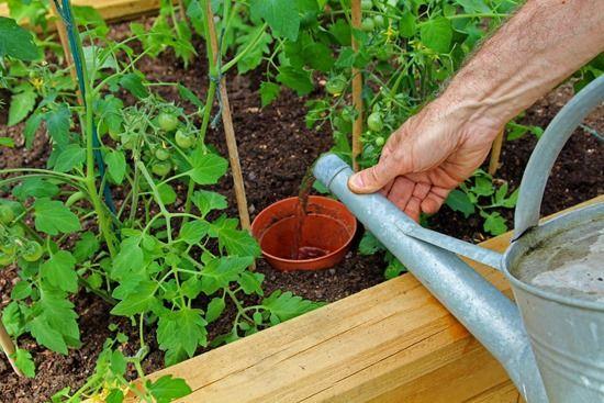 6 Applying liquid tomato fertiliser