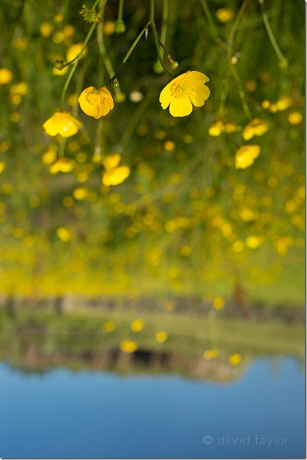 Buttercups growing in a meadow at Walltown recreation site (NY 669659), Northumberland National Park, England, Camera shake, handholding, viewfinfer, upside down, image, photograph, veiwpoint, zone, Photography project, vertical, horizontal, landscape and portrait,