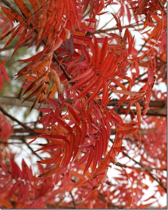 10 Sorbus 'Olympic Flame'