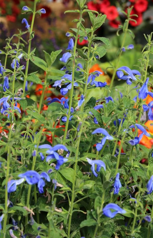 5 Salvia patens (516x800)