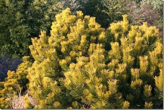 7 Pinus mugo 'Wintergold' Shrubs For Winter Interest
