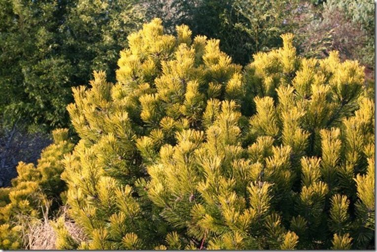 7 Pinus mugo 'Wintergold' Shrubs For Winter Interest