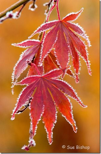 acer leaves with frost