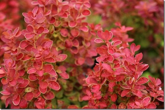 8_Berberis_thunbergii_'Orange_Ice'[1]