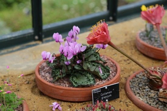 Cyclamen graecum and hyemanthus