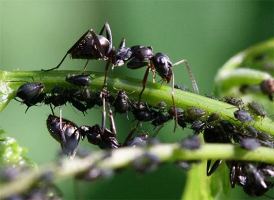 3 Ants and aphids