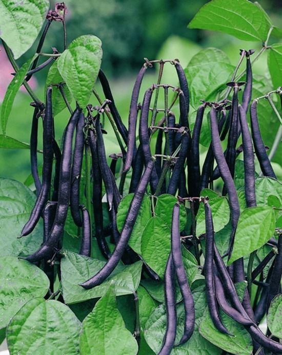 8 Bean 'Purple Queen'