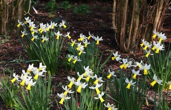 10  Narcissus Trena under shrubs