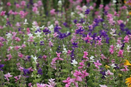 3 Salvia hormium (800x533)