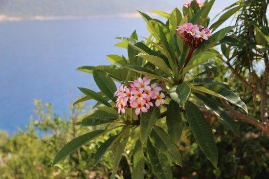 3 Plumeria rubra (800x533)