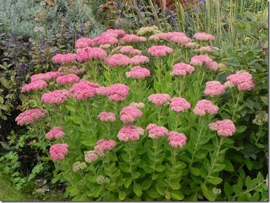 10 Sedum spectabile, 10 Great Perennials To Grow For Cutting