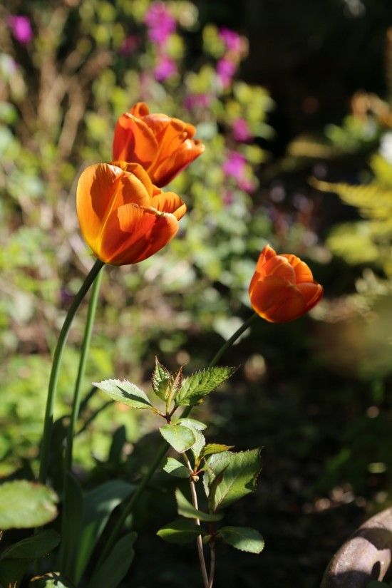 Tulipa 'Brown Sugar'